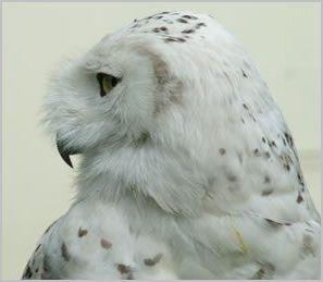 Berkley Owls